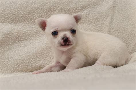 The Good And Not So Good Traits Of Chihuahua Terrier Mix