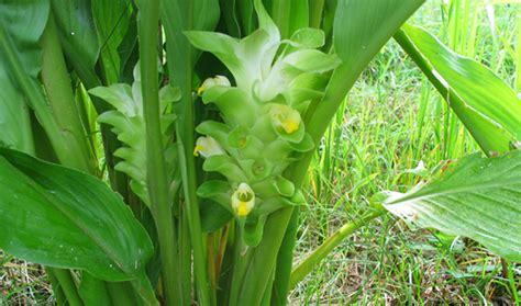 tanaman bumbu daun kari kunyit obat kulit kuning langsat detiktani