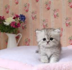miniature cats for teacup kitten for about animals