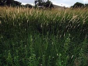 Phalaris arundinacea - Reed Canary-grass -- Discover Life
