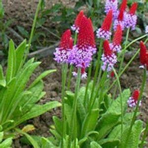 Primula vialii 'Red and Rose' - Vālīšu prīmula