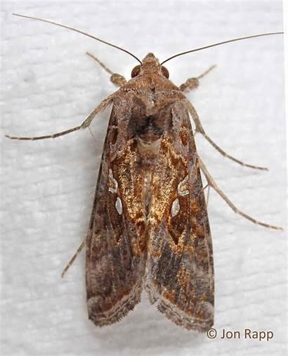 Chrysodeixis Looper Soybean Moth Caterpillar Moths Adult