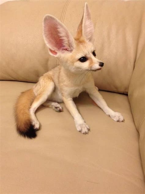 pet fennec fox 136 best images about fennec fox on pinterest san diego zoo zoos and pets for sale
