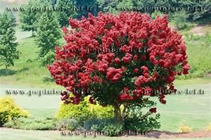 Petit Arbre Persistant : lilas des indes rouge lagerstroemia p pini re lcf ~ Melissatoandfro.com Idées de Décoration