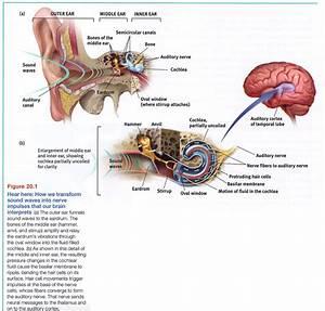 Ear Diagram Psych