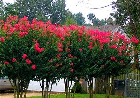 crape myrtle google search pool pinterest growing