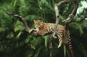 Jaguar Animal Wallpaper Picture   Big cats   Pinterest ...