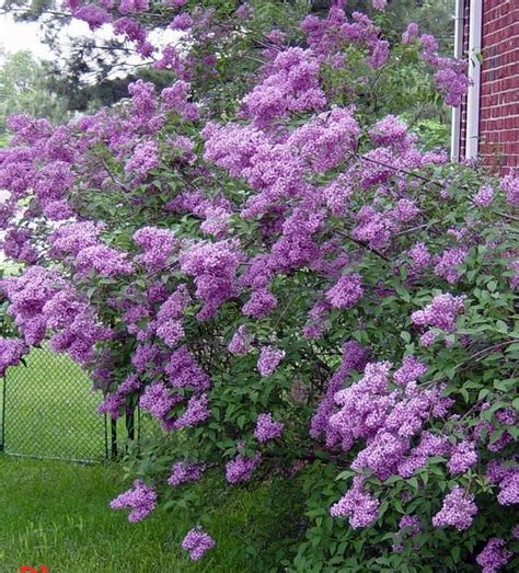 lilacs that bloom all summer lilacs in bloom spring one of my favorites america the beautiful pinterest lilacs