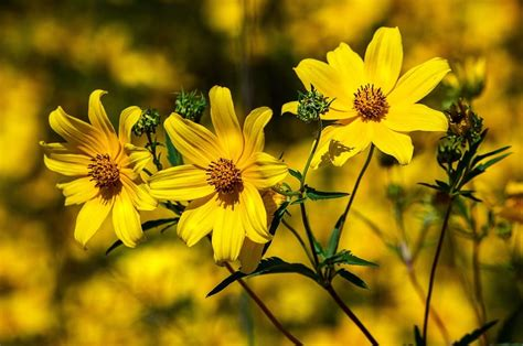 types  yellow flowers  pictures flower glossary