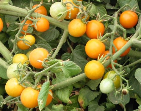 Planting your own vegetation and yielding organic vegetables is easier than ever with the aid of yellow cherry tomato seeds at alibaba.com. Cluj Yellow Cherry Heirloom Tomato Seeds
