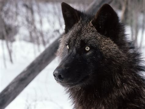 Black Wallpaper Of Wolf by Black Wolf Wallpapers
