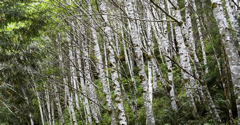 types of birch trees sb10069137av 001 jpg w 1200 h 630 crop min 1