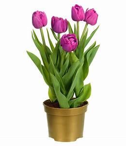Tulpen Im Topf In Der Wohnung : gef llte tulpe im topf 39 violett 39 1a zimmerpflanzen online kaufen baldur garten ~ Buech-reservation.com Haus und Dekorationen
