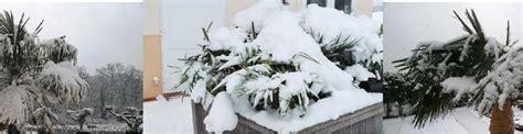 winterharte palmen bis 25 grad winterharte palmen ja wir haben sie auch gepflanzt