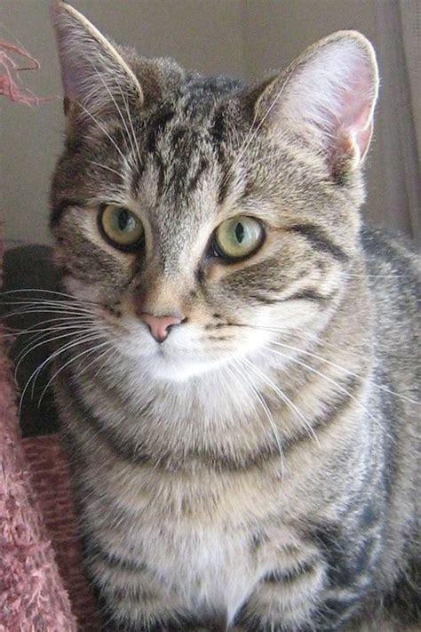 domestic shorthair cat cats breed breeds kittens coolcattreehouse tabby cool cute tree rare kitty