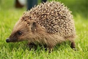 Spitzmäuse Im Garten : r sselk fer curculionidae in haus und garten bek mpfen ~ Lizthompson.info Haus und Dekorationen