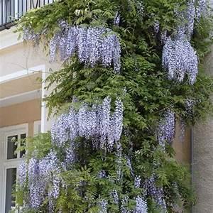 Können Mäuse Klettern : blauregen 39 wisteria issai perfect 39 kletterpflanzen ziergeh lze gartenpflanzen ~ Markanthonyermac.com Haus und Dekorationen