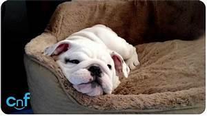 Baby White English Bulldogs | Dog and Cat