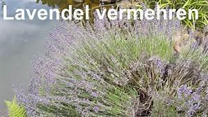 Magnolien Vermehren Durch Stecklinge : lavendel vermehren lavendel stecklinge lavendula vermehren ~ Lizthompson.info Haus und Dekorationen