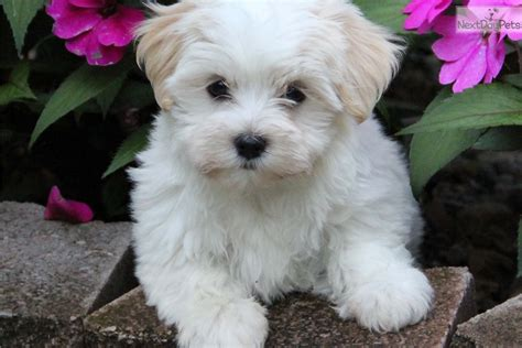 lilli havanese puppy  sale  indianapolis indiana