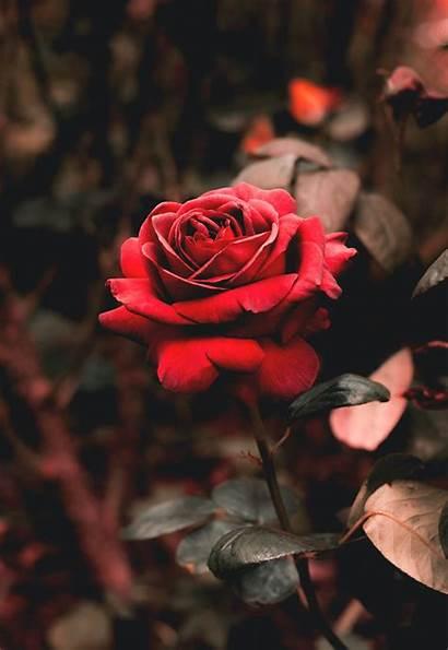 Wallpapers Rose Unsplash Single Flower Flowers Plant