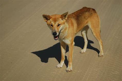 australian desert animals wildlife   outback