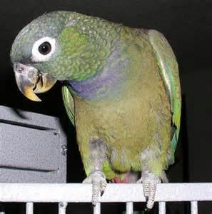 Maximilian Pionus Parrot