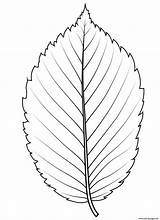 Coloring Elm Leaf American Drawing Template Printable sketch template