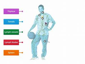 Label Parts Of Lymphatic System