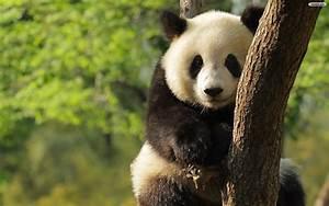 Lovely Panda Wallpaper Widescreen #10329 Wallpaper | Cool ...