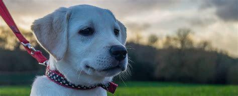 scientists  finally figured    labrador