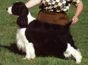 physical characteristics english springer spaniel