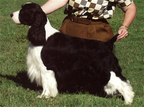 Springer Spaniel Coat Shedding by Physical Characteristics Springer Spaniel
