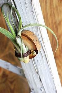 Tillandsien Luftpflanzen richtig pflegen und kreativ in