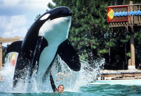 florida memory animal trainer  leaping orca
