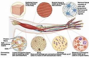 3 13  Animal Tissues