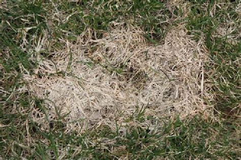 lawn disease quick reference wisconsin horticulture