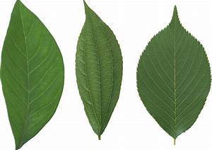 Single Green Leaf Png | www.imgkid.com - The Image Kid Has It!