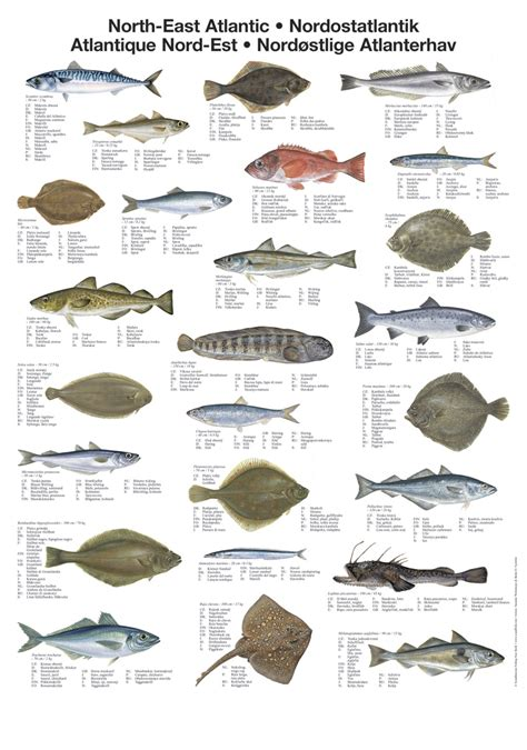 north east atlantic fish poster unique chart poster