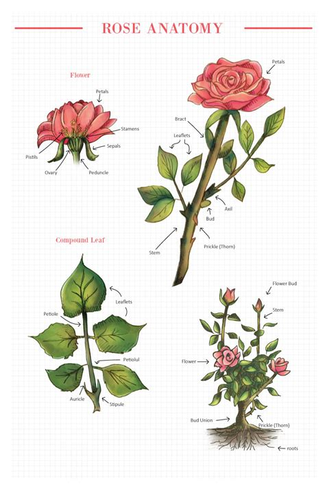 Carnation Anatomy Diagram by Diagram Of Flower Wiring Diagram Oline For Everyone