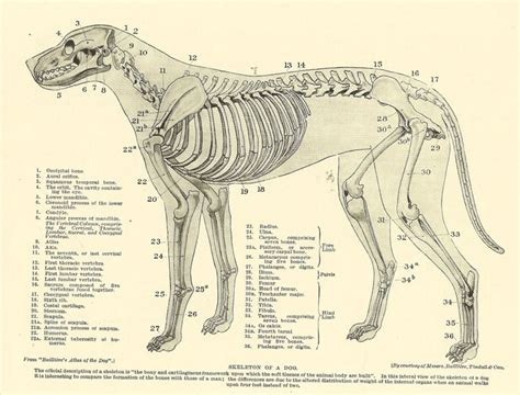 Vintage 1935 Dog Veterinary Print Skeleton Of Dog Anatomy