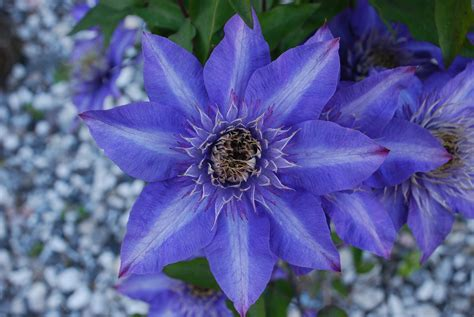 Floare albastră - Sapphire flower | Cristina Lincu