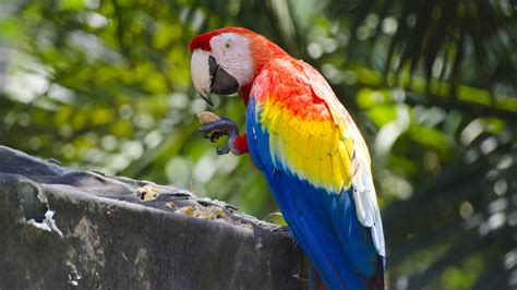scarlet macaw parrot ultra hd wallpaper wallpaperscom