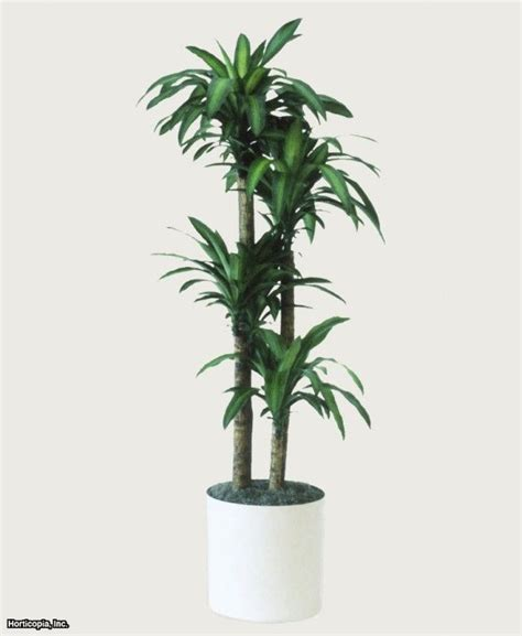 Low Light Indoor Trees by Dracaena Fragrans Massangeana Mass Corn Plant