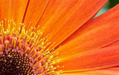 Flowers Flower Orange Wallpapers Fall Desktop Backgrounds