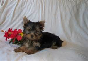 why yorkies make good pets pruitt yorkies