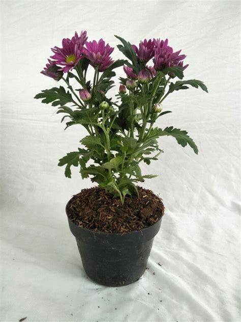 jual tanaman krisan aster fuschia pink bibitbungacom