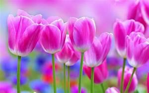 Beautiful Tulip Flowers Wallpaper