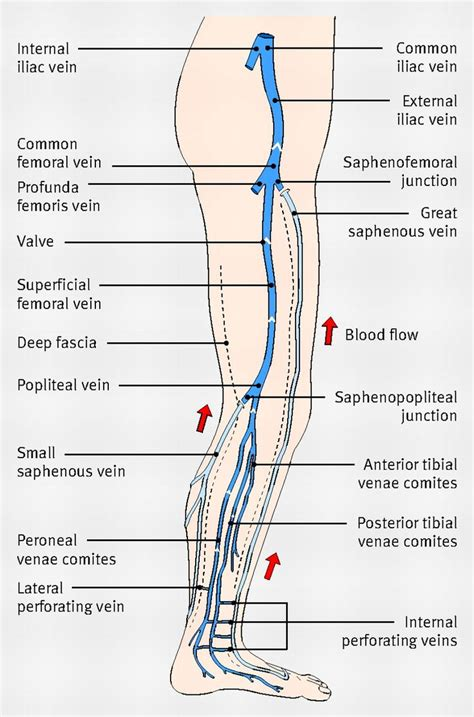 layers of the venus worksheet diagram showing the venous anatomy of the leg sonography