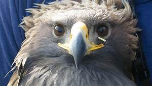 Eagle Versus Porcupine  Camera Snaps A Painful Face